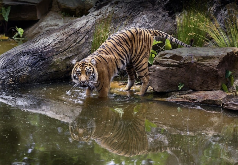 Tiger drinking water from waterhole at Similipal tiger reserve which is one of the best wild life sanctuaries in Odisha