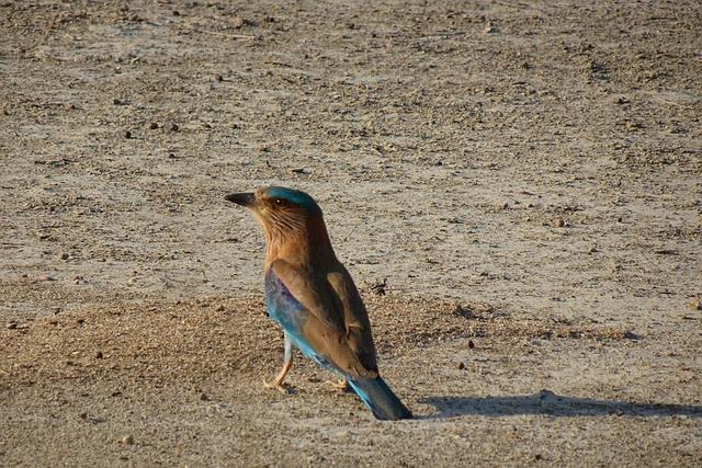 State Bird - Indian Roller