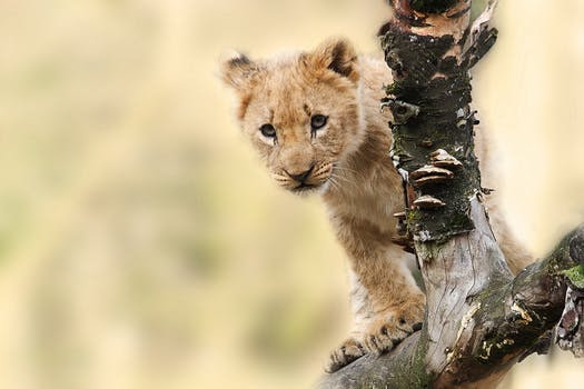 Lion cub on a tree attracts a lot of tourists towards eco tourism in Odisha