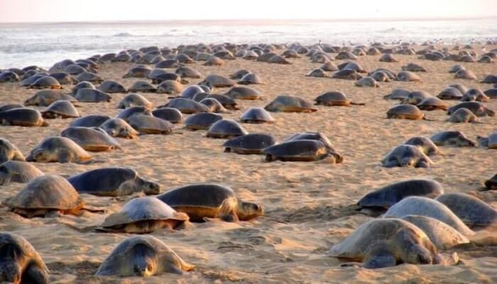 Migrating olive ridley turtles to lay eggs at Gahirmatha beach