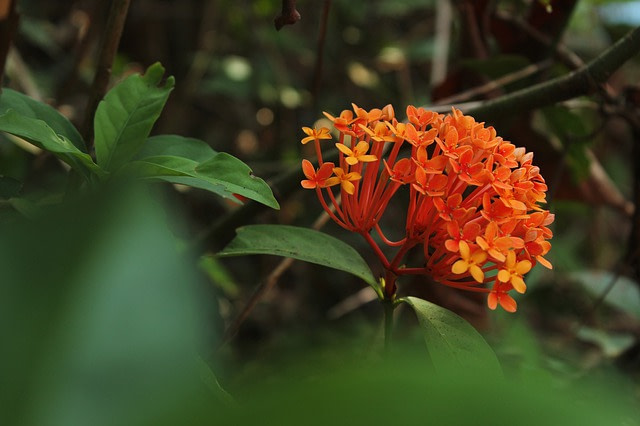 State Flower - Ashoka flower